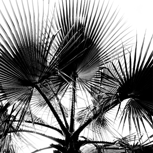 Blätter einer Palme in Schwarz Weiß
